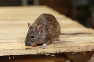 Rodent Control, Pest Control in Maida Vale, Warwick Avenue, W9. Call Now 020 8166 9746